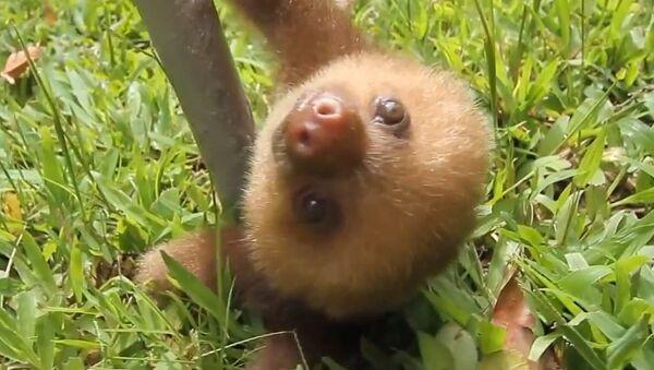 Разговорчивые ленивцы