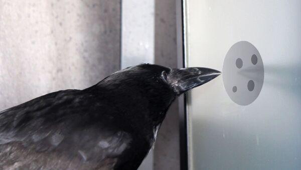 Ворона выстукивает правильный ответ на экране компьютера