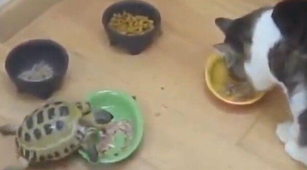 Черепаха - преследователь кошек