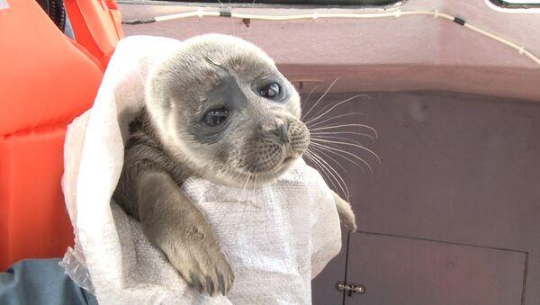 Приключения любопытного нерпенка, или Как байкальский тюлень гостил у рыбака