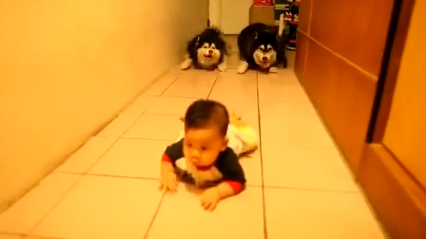 Хаски копируют малыша