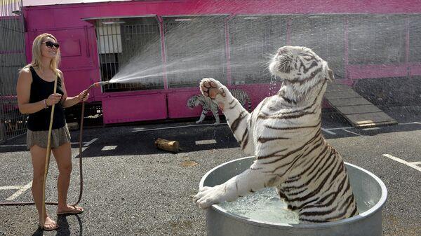 Девушка обливает водой белого тигра из цирка во время жары во Франции