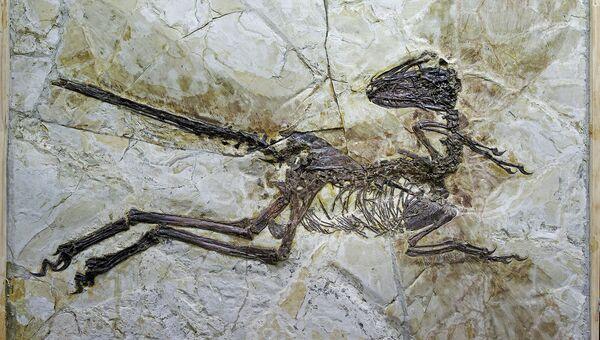 Останки Zhenyuanlong suni, найденные в провинции Ляонин