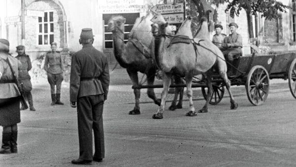 Верблюды, прошедшие путь от Сталинграда до Берлина. 1945 год