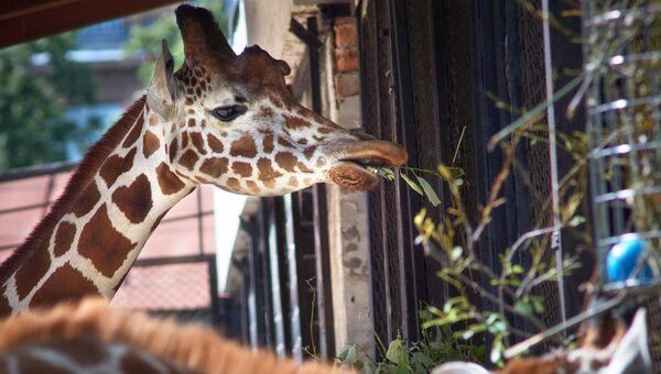 Жирафы в вольере Ленинградского зоопарка