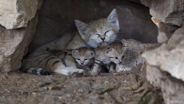 Барханные кошки в сафари-парке Рамат-Ган, Израиль