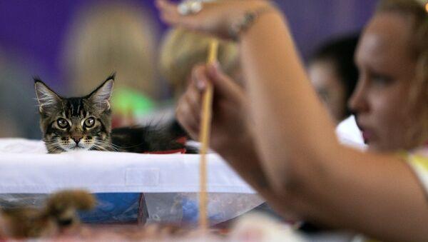 Кошка мейн-кун на выставке