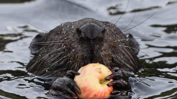 Бобер ест яблоко в реке Химка в парке Покровское-Стрешнево