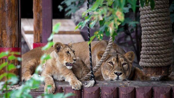 Львы в Уссурийском зоопарке