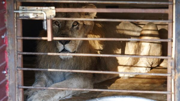 Спасенный во время наводнения из зоопарка лев в импровизированном центре передержки в Уссурийске