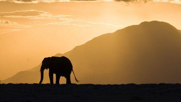 Силуэт слона во время заката в Кении
