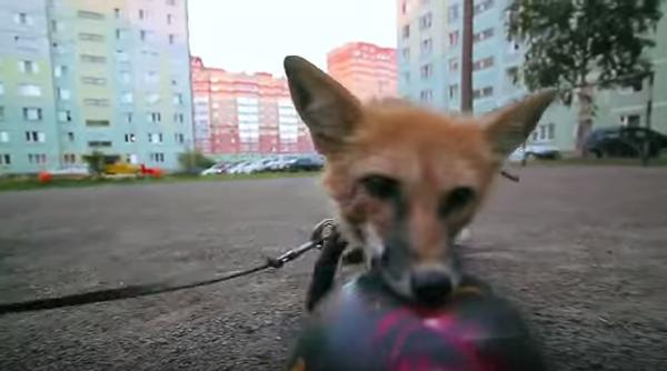 Необычный питомец на улицах Новосибирска