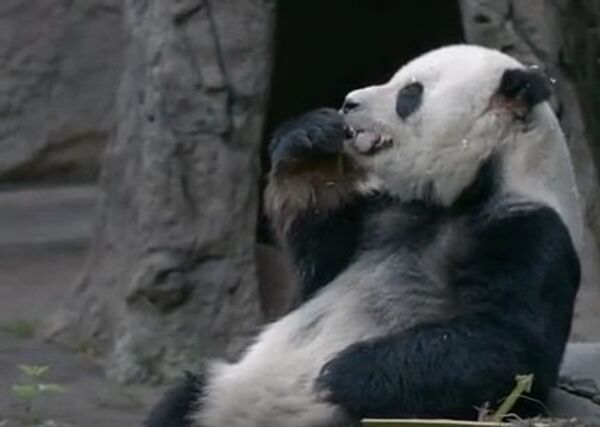 Когда панда – гурман