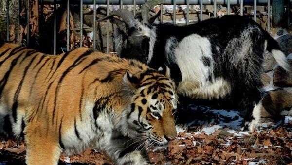 Дружба козла Тимура и тигра Амура, архивное фото