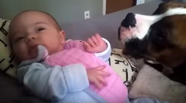 Поцелуй от большой собаки маленькому человеку