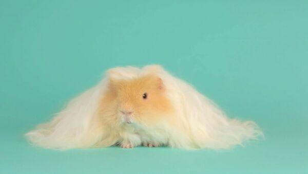 Свинка-блондинка
