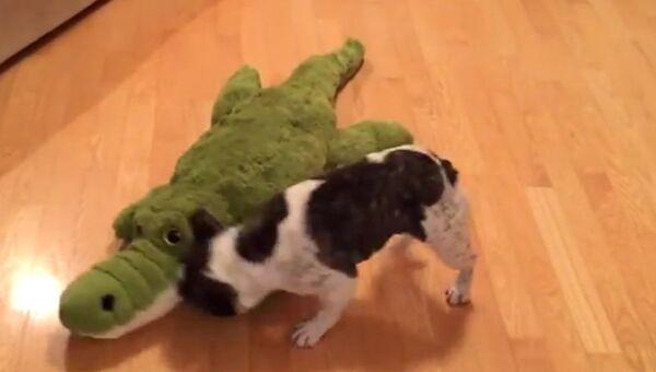 Бульдог против крокодила