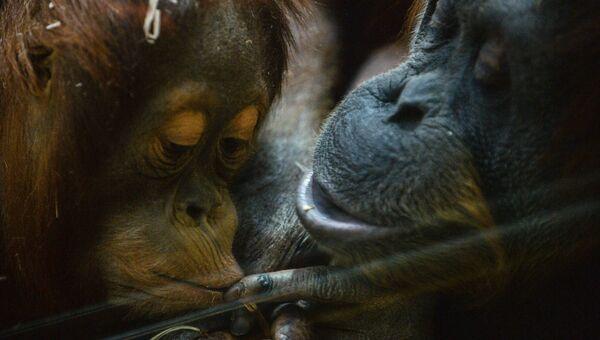 Обезьяны породы суматранский орангутан в Московском зоопарке