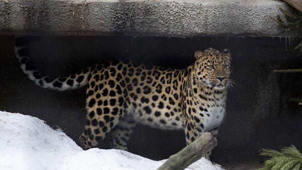 Дальневосточный леопард Мизер в Московском зоопарке