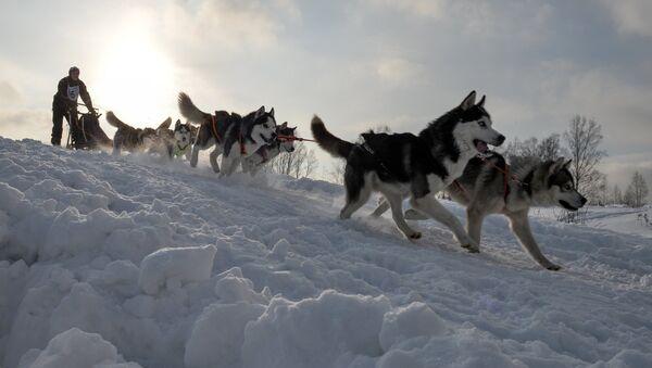 Упряжка ездовых собак. Архивное фото