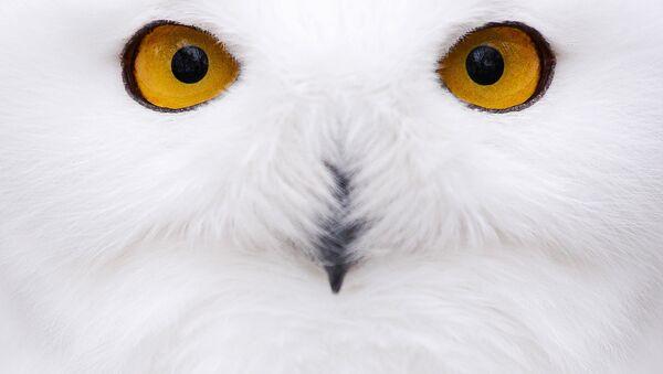 Полярная сова. Архивное фото