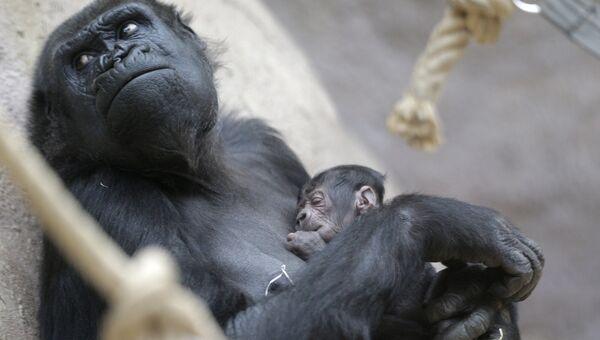 Горилла Шинда держит своего новорожденного детеныша в зоопарке в Праге