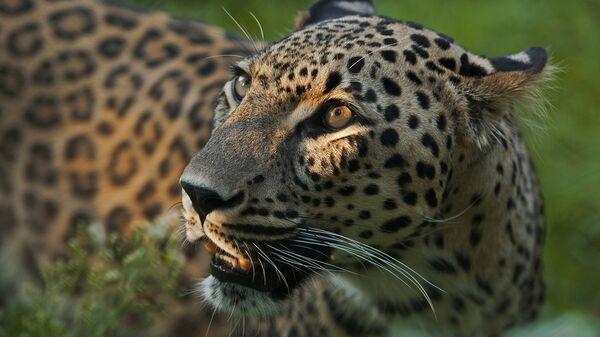Переднеазиатский леопард. Архивное фото