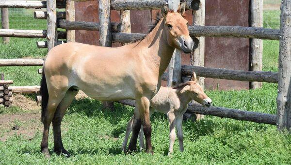Жеребенок лошади Пржевальского. Архивное фото