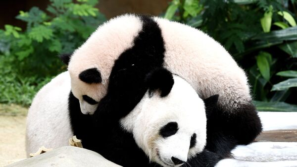 Панды. Архивное фото