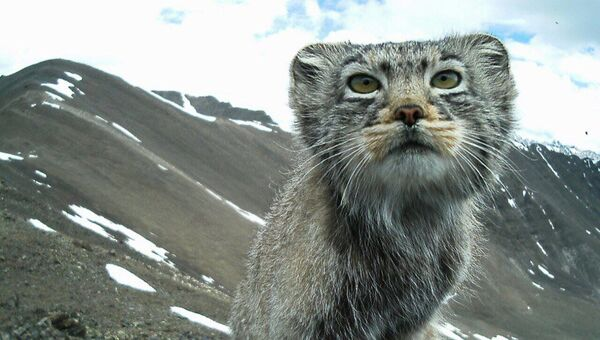 Манул в горах Алтая, архивное фото