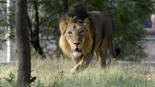 Азиатский лев в зоопарке Ахмедабада, Индия