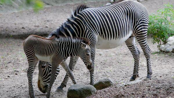 Детеныш зебры со своей матерью. Архивное фото