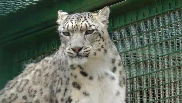 Снежные барсы в Подмосковье: как в зоопитомнике заботятся о редких хищниках