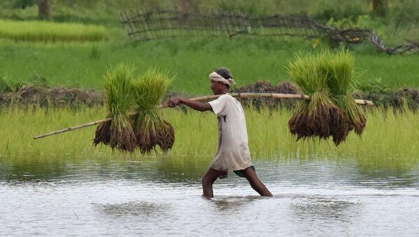 Индийский фермер несет рисовые саженцы для посадки в своем сельском хозяйстве