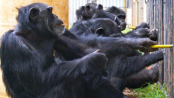 Альянс шимпанзе тянет канат, чтобы получить порцию пищи