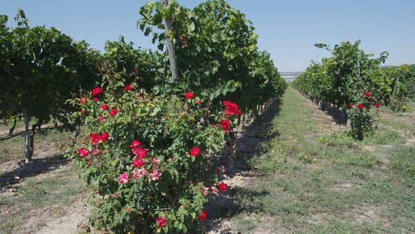 Винодельческое хозяйство Шато Люсьен в Крыму. Архивное фото