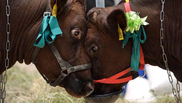 Коровы на 18-й Российской агропромышленной выставке Золотая осень на территории ВДНХ