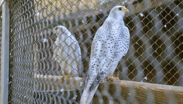 Сапсаны в питомнике хищных птиц в заповеднике Галичья Гора в Липецкой области