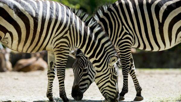 Зебры в Берлинском зоологическом саду