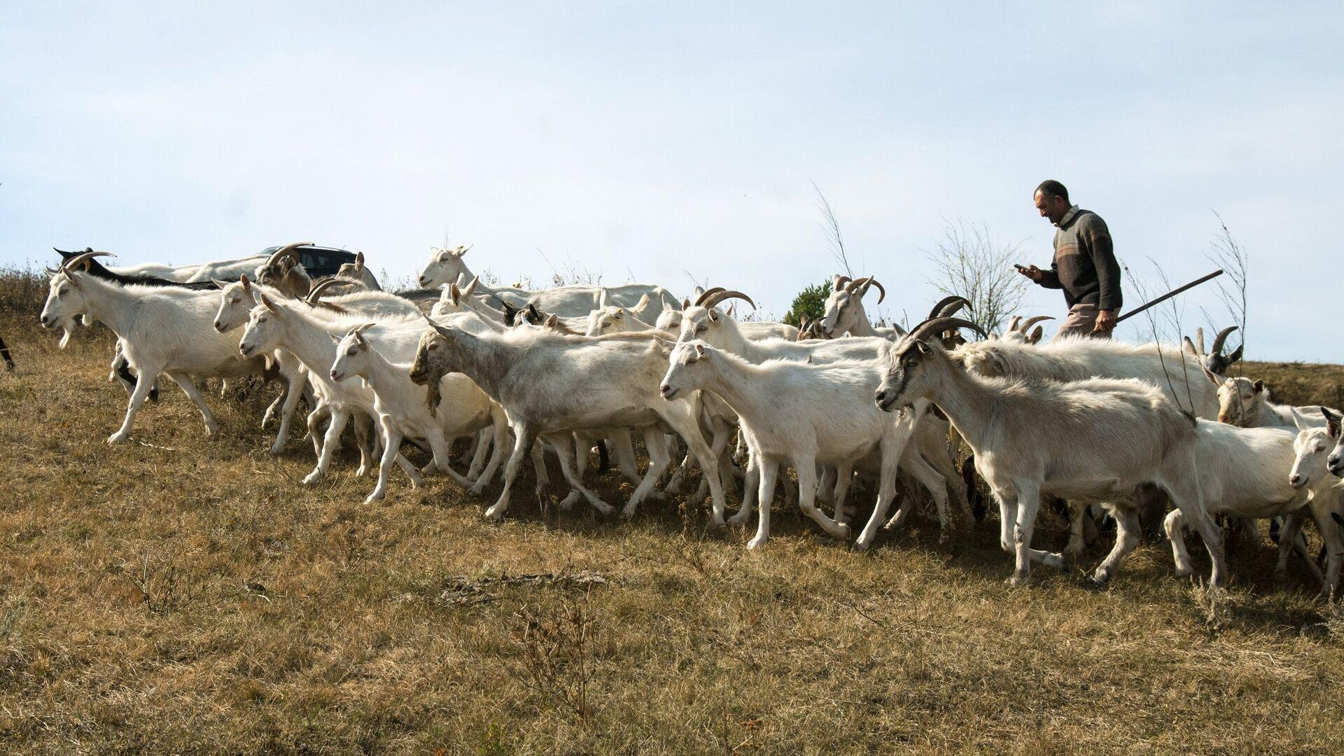 Стадо коз зааненской молочной породы из фермерского хозяйства Альфа в селе Смородино Белгородской области - РИА Новости, 1920, 04.05.2020