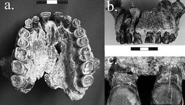 Зубы человека умелого, на которых сохранились следы его праворукости