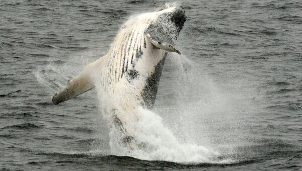 Горбатый кит выпрыгивает из воды в западной части Антарктического полуострова