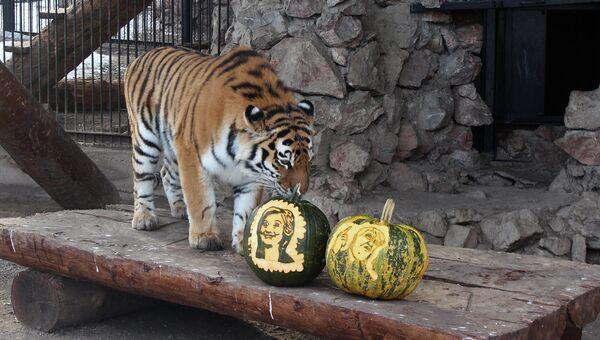 Амурская тигрица Юнона во время выборов президента США в красноярском зоопарке Роев ручей