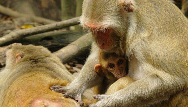 Социальный статус обезьян оказался привязанным к их иммунитету