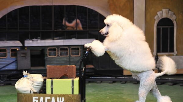 Пудель везет тележку во время репетиции представления в театре Уголок дедушки Дурова