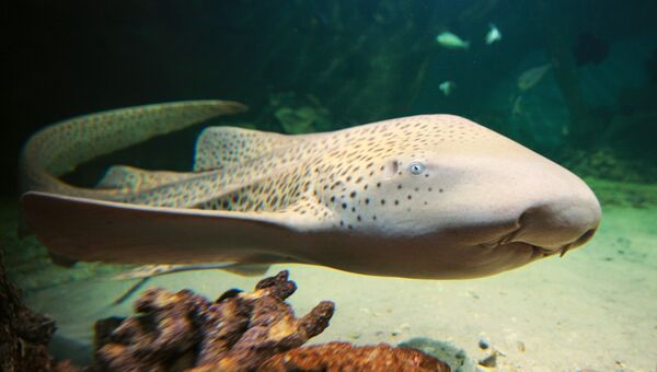 Зебровая акула. Архивное фото