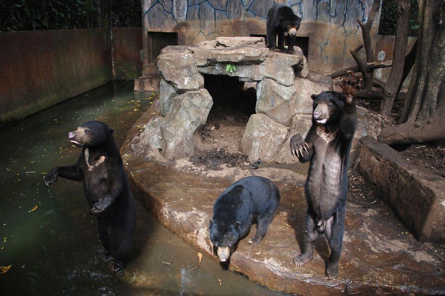 Малайские медведи машут лапами в зоопарке Бандунга, Индонезия