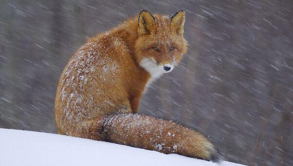Кенозерский национальный парк. Лисица