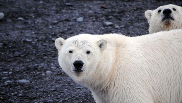 Белые медведи в поисках пропитания