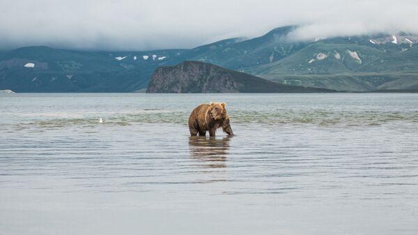 Бурый медведь на Камчатке